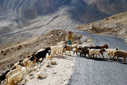 Sheep crossing the road to Nubra Valley